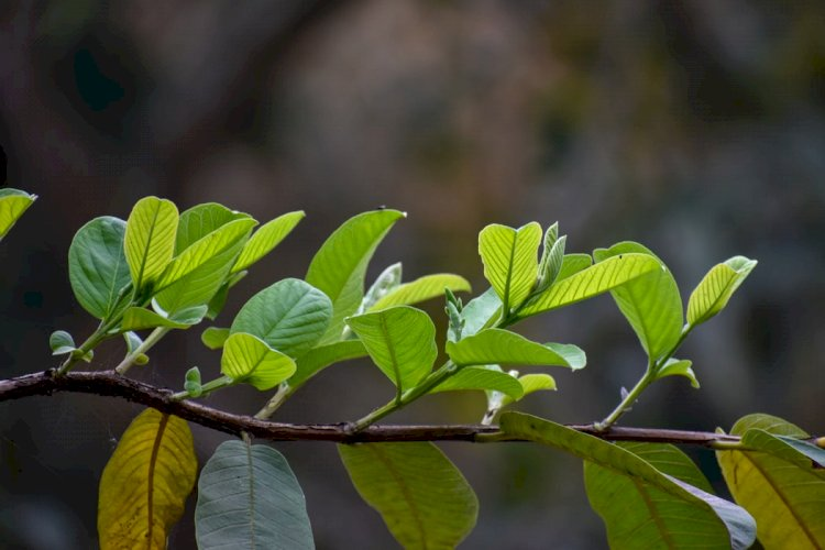 Using Guava Leaves For Hair Growth Is An Ancient Beauty Remedy